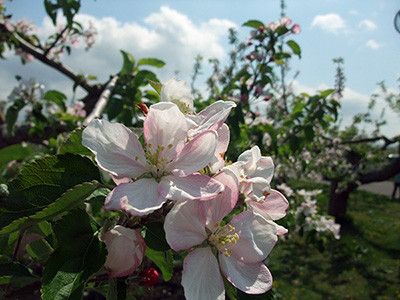 0823apple_flower