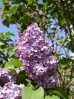 ライラック(紫)