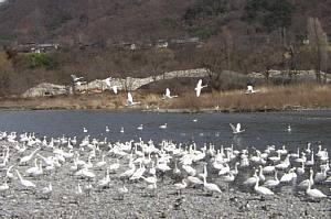 詰めかける白鳥