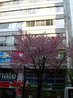0420桜開花