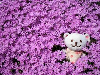 芝桜に埋もれる白くま
