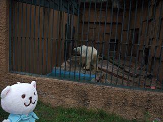 しろくまと白熊